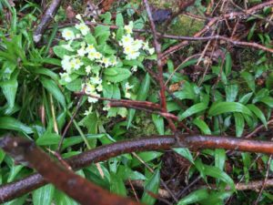 Primroses on the trail